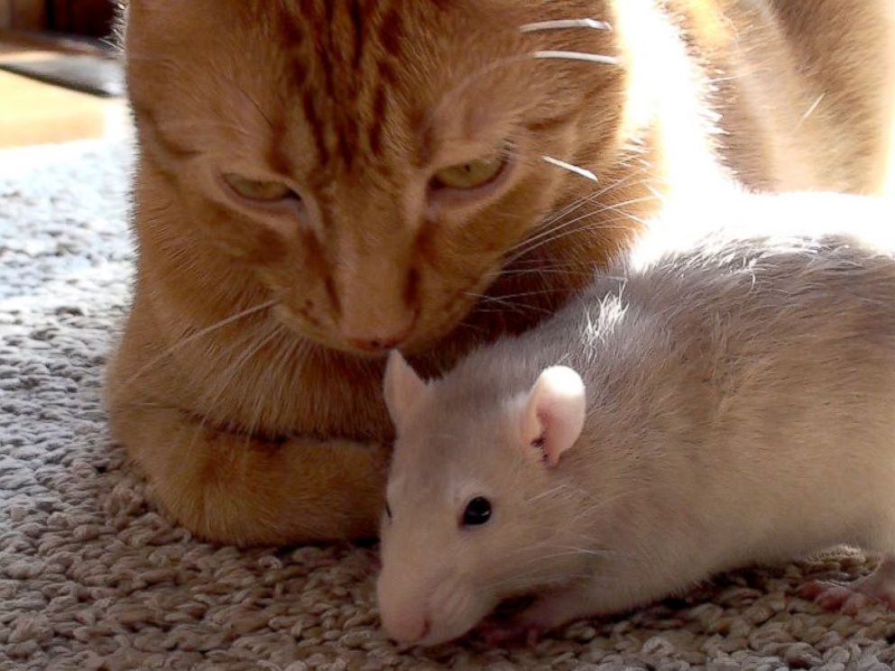 PHOTO: Peanut the rat and Ranj the cat were like close siblings, according to their owner, Maggie Szpot from Cedarburg, Wisconsin.