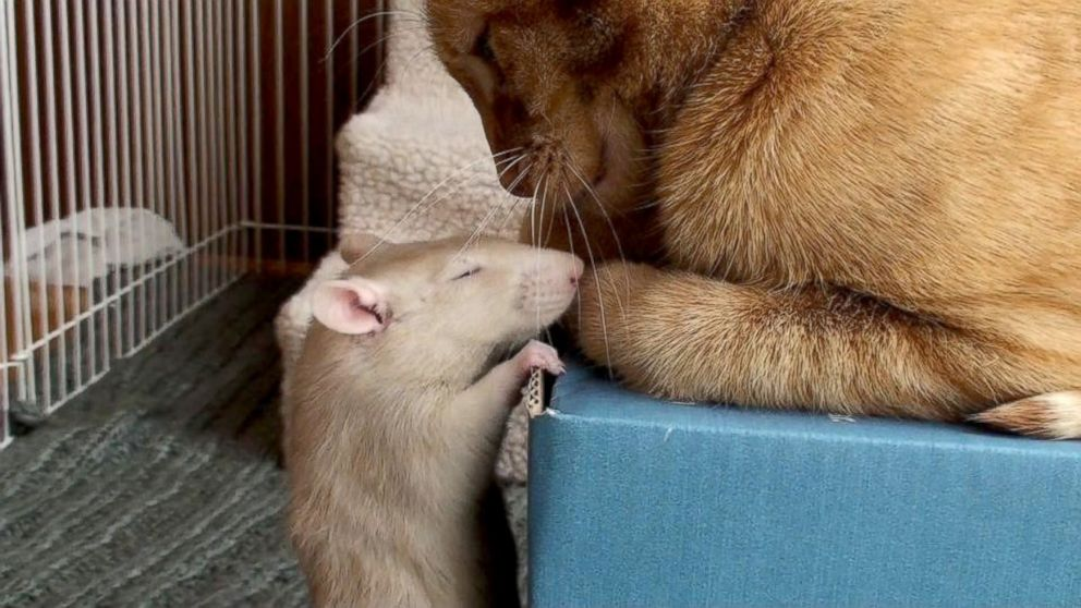 Cat and Rat's Adorable Friendship Shatters Stereotypes - ABC