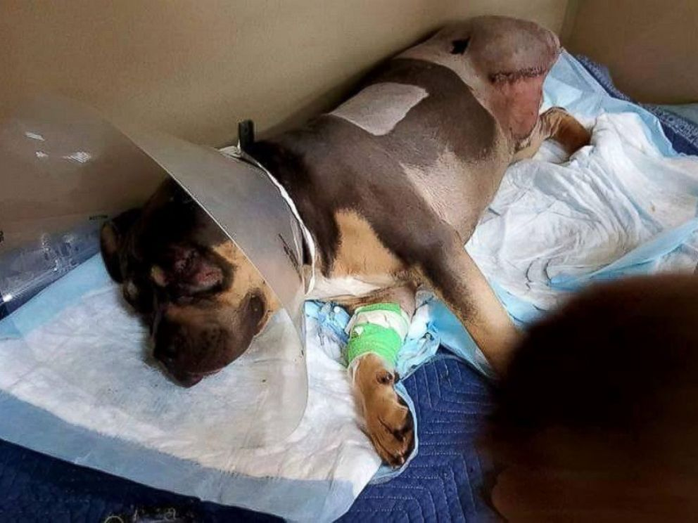 PHOTO: Loki miraculously survived after being hit by 13 trains last Wednesday, Feb. 17, 2016 in Kuna, Idaho. He lost an eye, a leg and his tail.