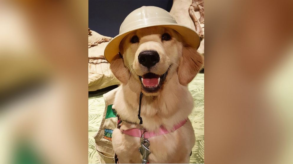 This Service Dog in Training Is Amazing Social Media Users With Her