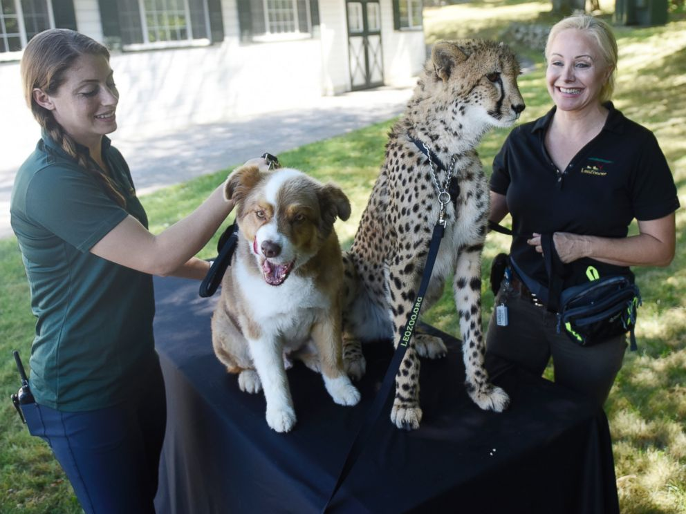 PHOTO: Adaeze the cheetah and Odie the Australian Shepard are working together to bring awareness to threatened species.