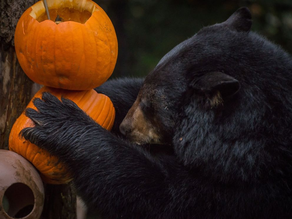 PHOTO: Animals at the Oregon Zoo enjoy carved pumpkins as part of the zoos Halloween festivities.