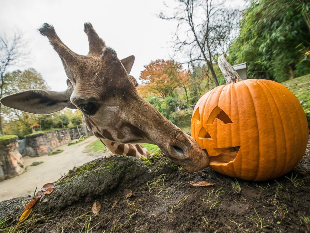 Animals at the oregon zoo play devour and smash pumpkins