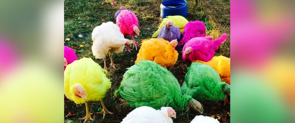 PHOTO: Gozzis Turkey Farm in Guilford, Conn., is famous for its display of colored turkeys during the holiday season.