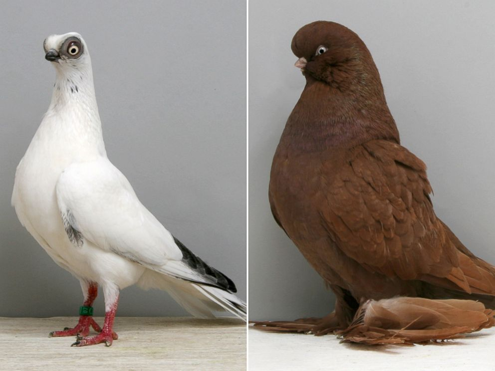 PHOTO: A Budapest Short-faced pigeon, left, and an English Long-faced pigeon.