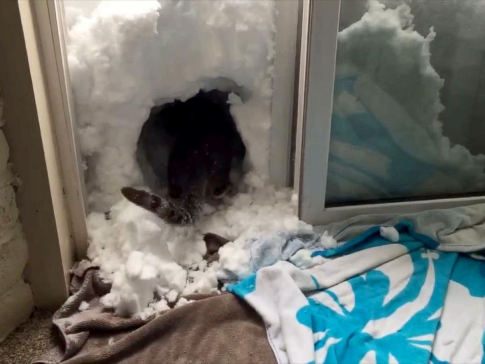 PHOTO: When Colorado got hit with a March blizzard, Boots the cat went to work building a snow igloo.
