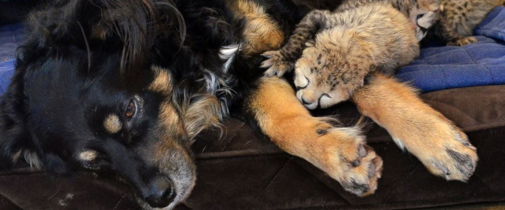 PHOTO: Blakely, a 5-year-old Australian Shepherd dog, has become the mother and caretaker for five cheetah cubs, after their mother passed away this past week at the Cincinnati Zoo.