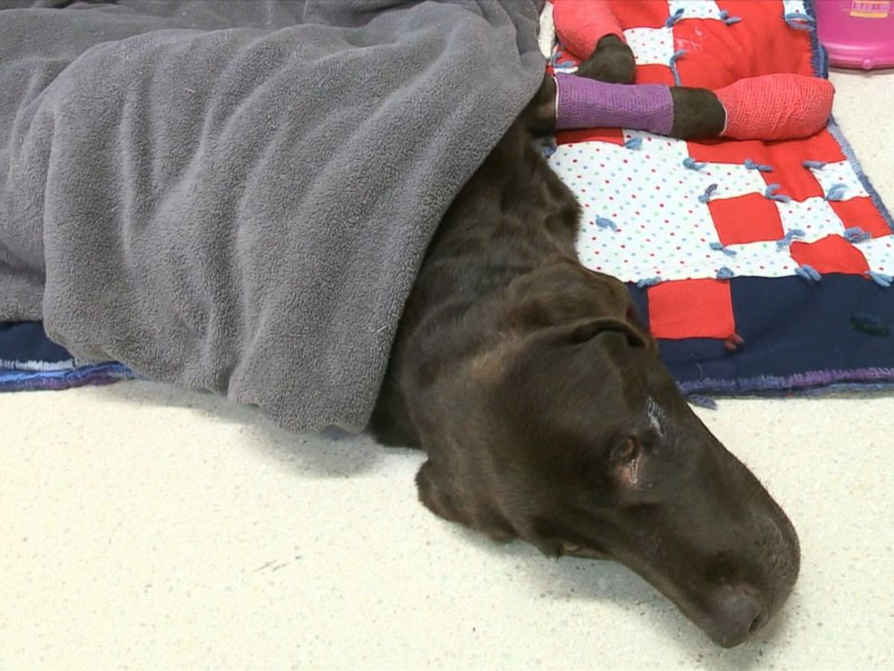 PHOTO: Bruno, a 7-year-old chocolate labrador, survived a month trapped in a well in the middle of fields near the town of Estevan in Canadas Saskatchewan province.