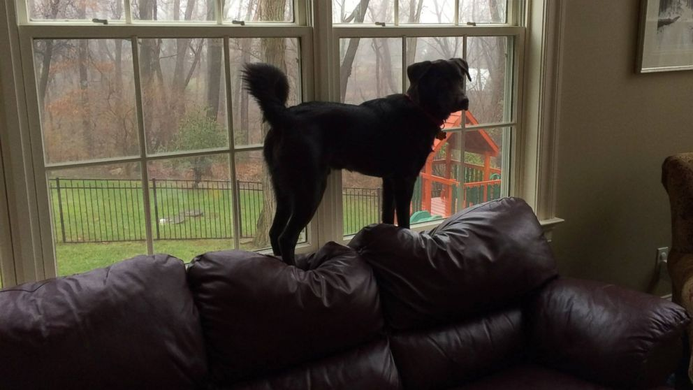 """This photo was posted to the """"Doggies for Anthony"""" Facebook page with the caption """"Hi Anthony! My name is Curo and I live in Kennett Square, Pennsylvania. It's a good thing my family also loves cats, because sometimes I act just like one when I pretend the window sill is a balance beam. Pretty talented, huh?!"""""""