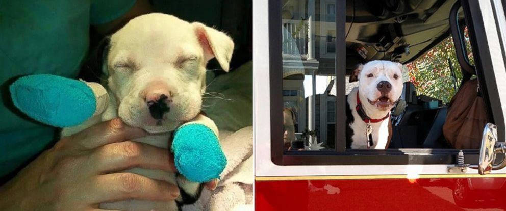 "PHOTO: A Pit Bull named Jake, who was badly burned in a house fire as a puppy in April 2015, is now a ""firefighter"" and mascot at Hanahan Fire Department in South Carolina, according to William Lindler, his owner and the firefighter who saved him."