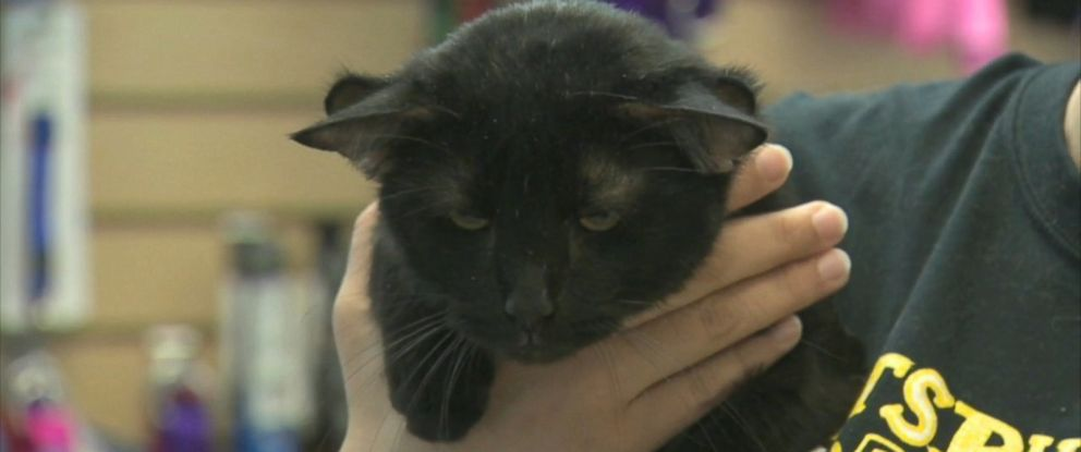 PHOTO: Batman, a unique feline with four ears, was adopted on Aug. 9, 2016, according to the Western Pennsylvania Humane Society in Pittsburgh, Pennsylvania.