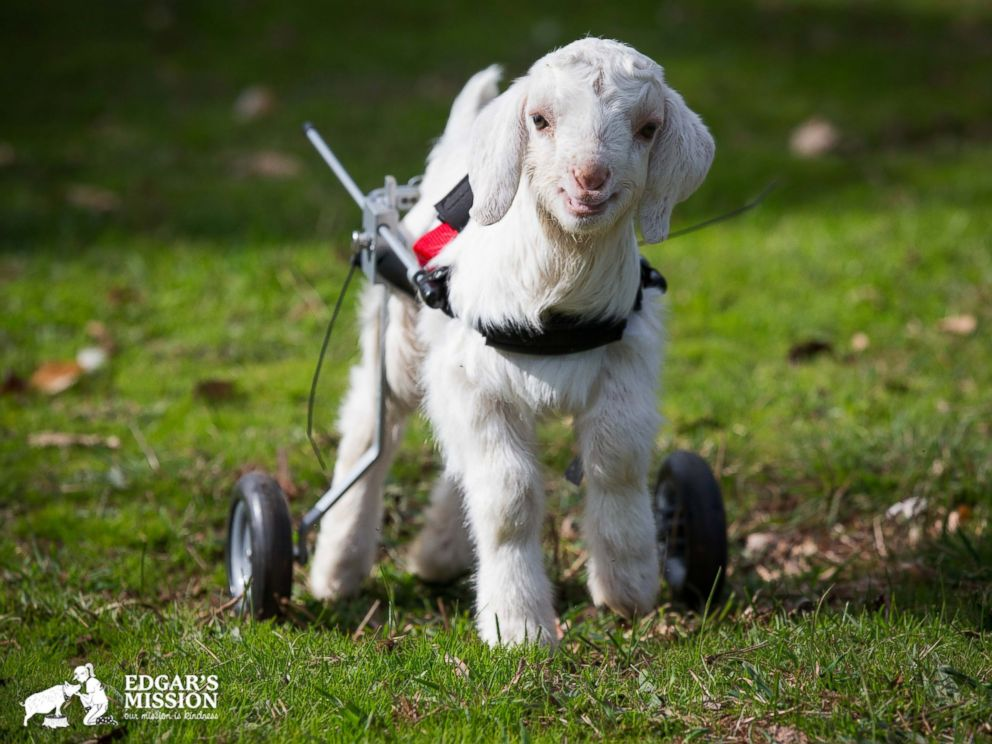 PHOTO: Frostie the Snow Goat is seen in this image provided by Edgars Mission.