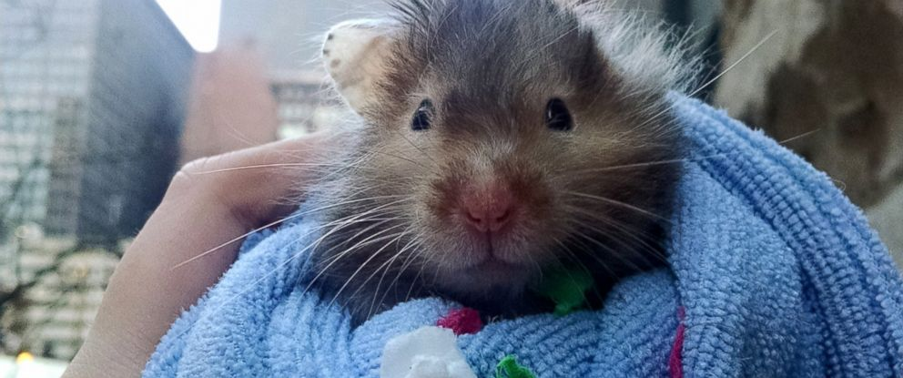 Hamster Spends Final Days Checking Off Bucket List - ABC News