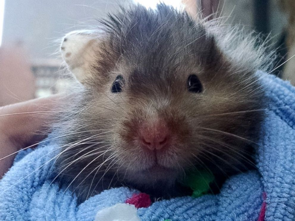 Hamster Spends Final Days Checking Off Bucket List Abc News