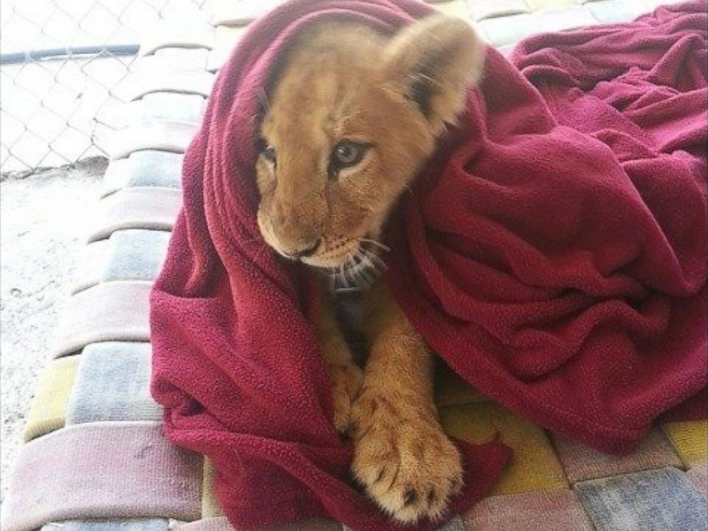Rescued Lion Cannot Sleep Without His Blanket - ABC News