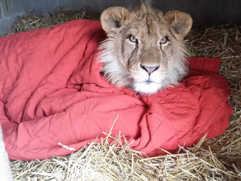 Rescued Lion Cannot Sleep Without His Blanket ABC News Cool Lion Blanket Or Throw