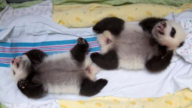 PHOTO:The twin giant panda cubs at Zoo Atlanta are the only twins ever to survive in the U.S.