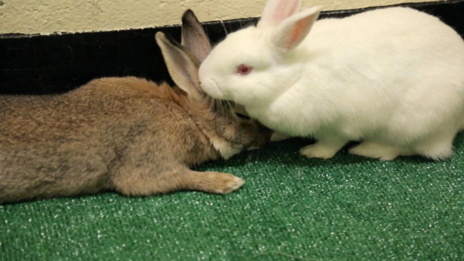 Rabbit speed dating
