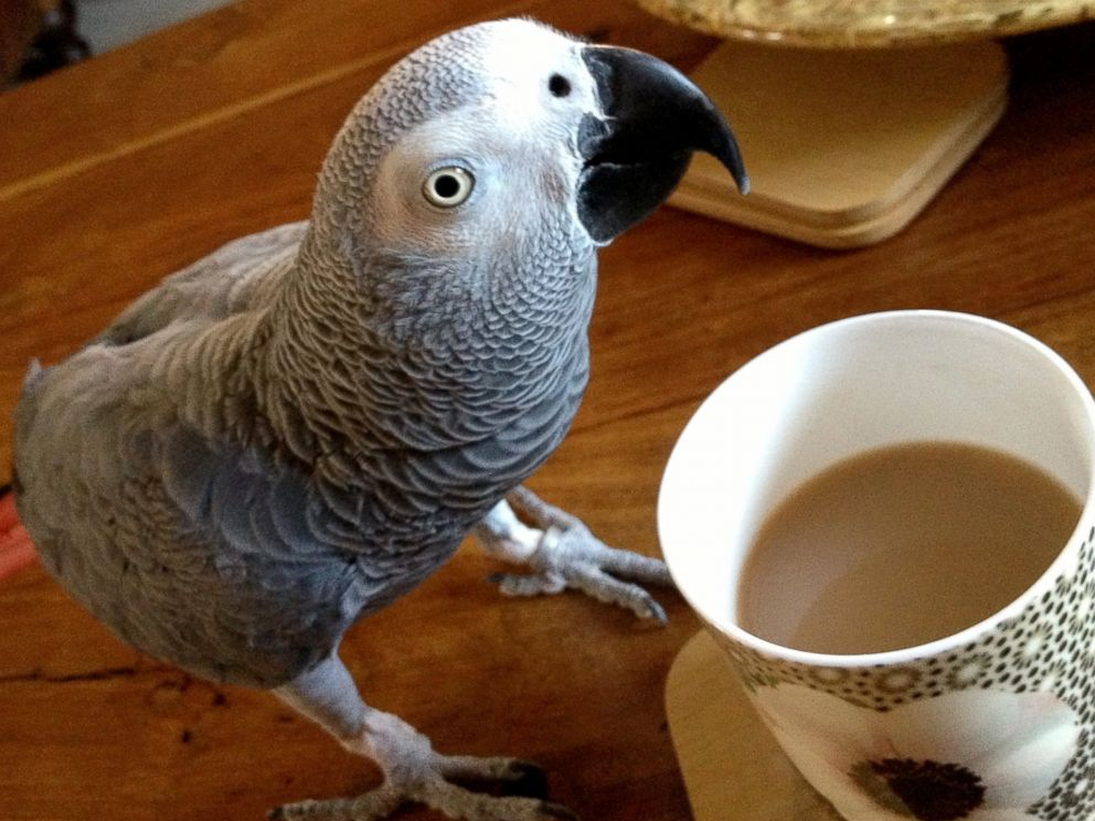 PHOTO: JoeJoe the parrot has been missing for 4 weeks now.