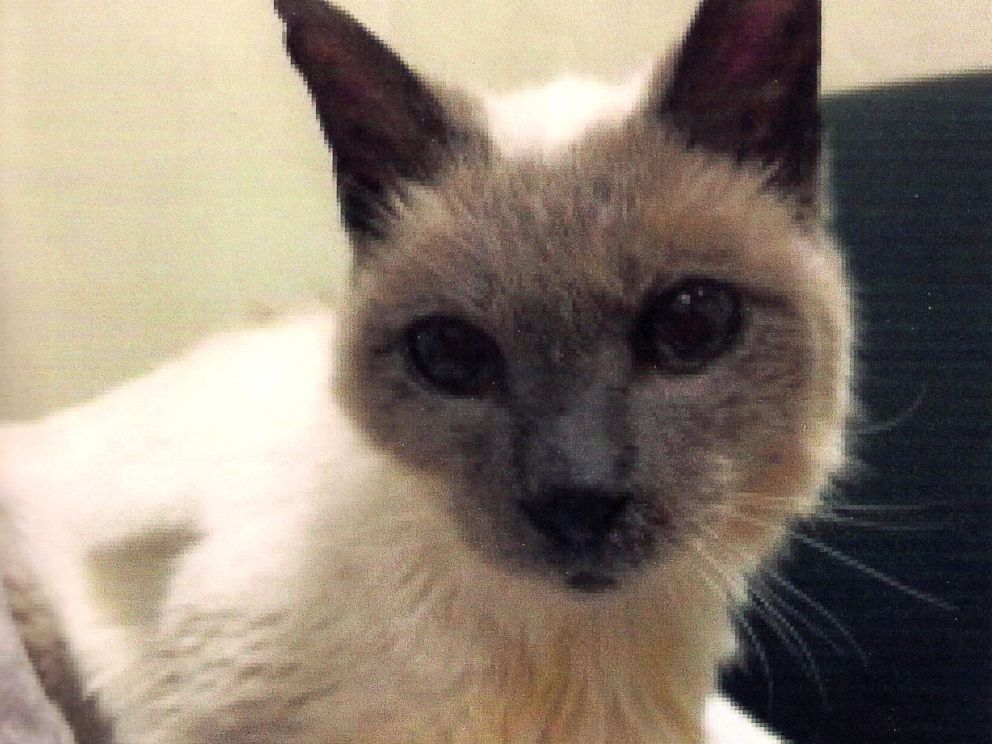 30 year old siamese cat named world s oldest by guinness abc news