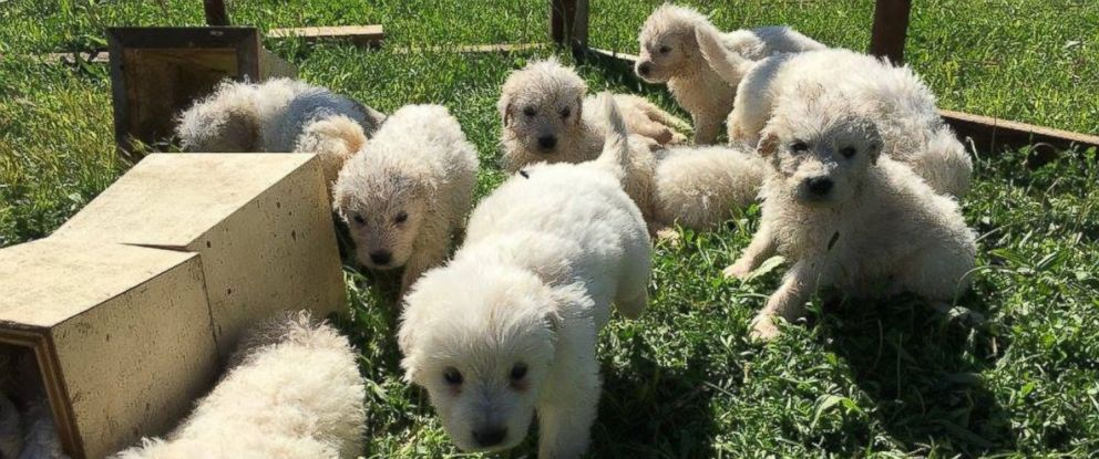 PHOTO: A 3-year-old Maremma Sheepdog named Stella from Napa, California, gave birth to a huge litter of 17 puppies on Jan. 29 2016.
