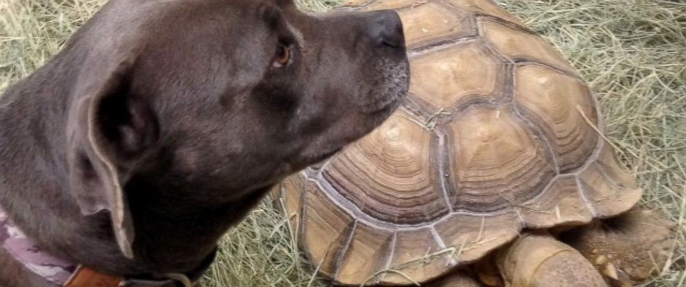 PHOTO: Sheldon, a Sulcata tortoise, and Dolly, an American Pit Bull terrier mix, are best friends.