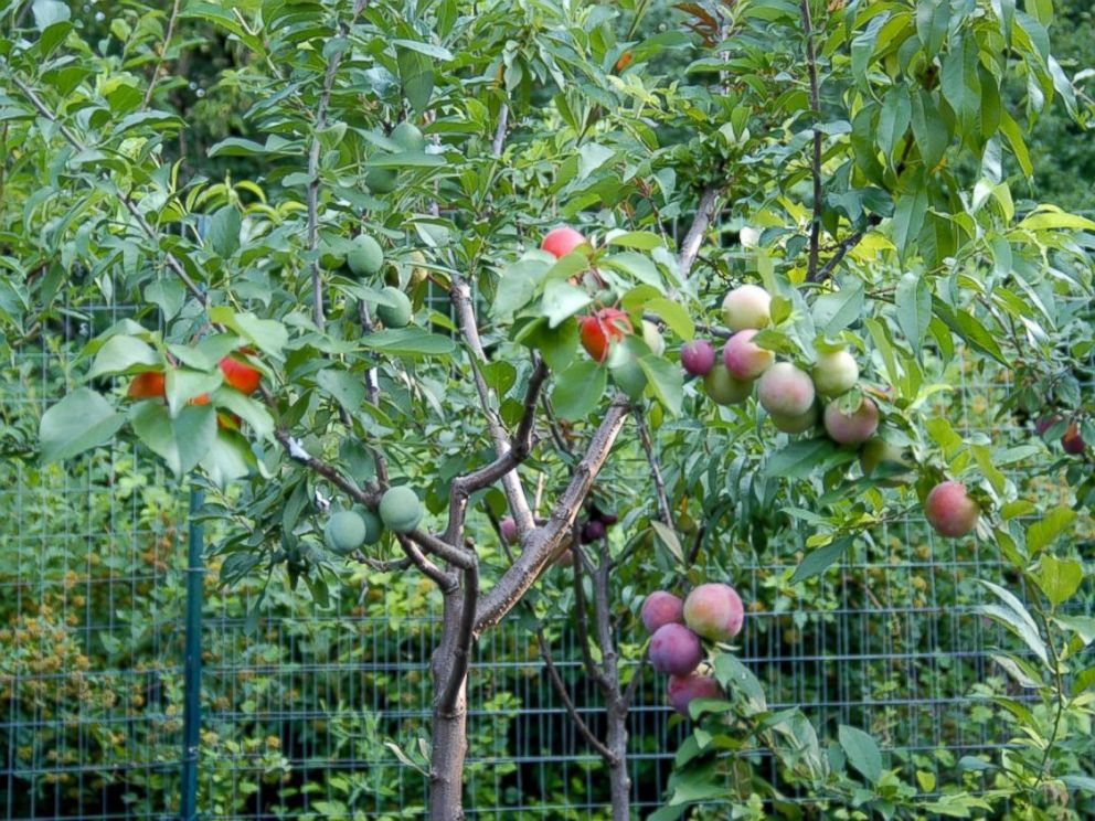 PHOTO: The multicolored varieties of stone fruit, all grown on one branch of the same tree.