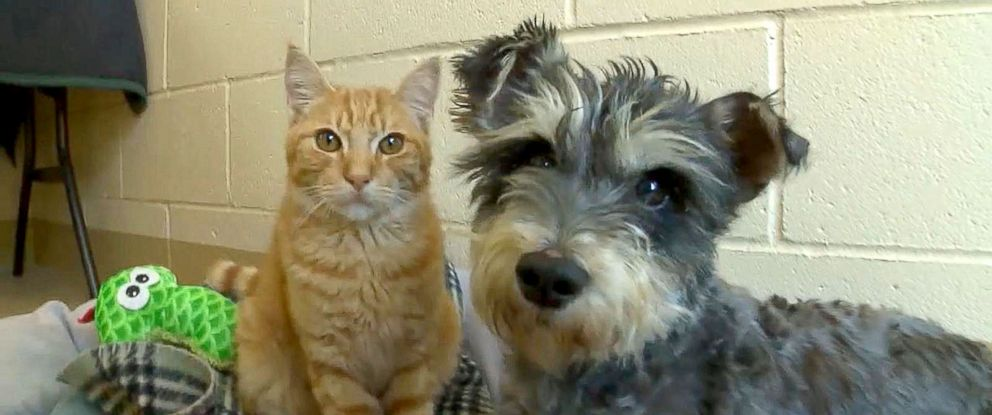 """PHOTO: The Chula Vista Animal Care Facility in California said a cat named Romeo and a dog named Juliet who came the their shelter on Sept. 29, 2016, are """"an inseparable pair."""""""