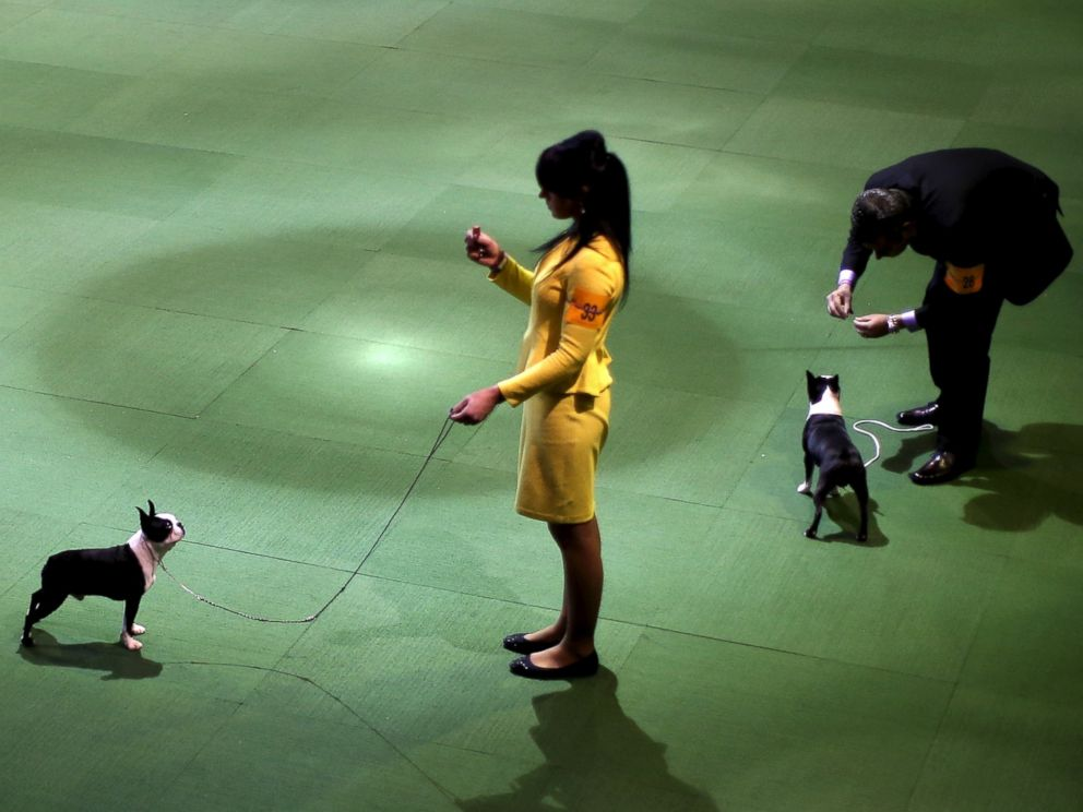PHOTO:Handlers stand in the ring with Boston Terriers during judging at the 2016 Westminster Kennel Club Dog Show, Feb. 15, 2016, in New York.