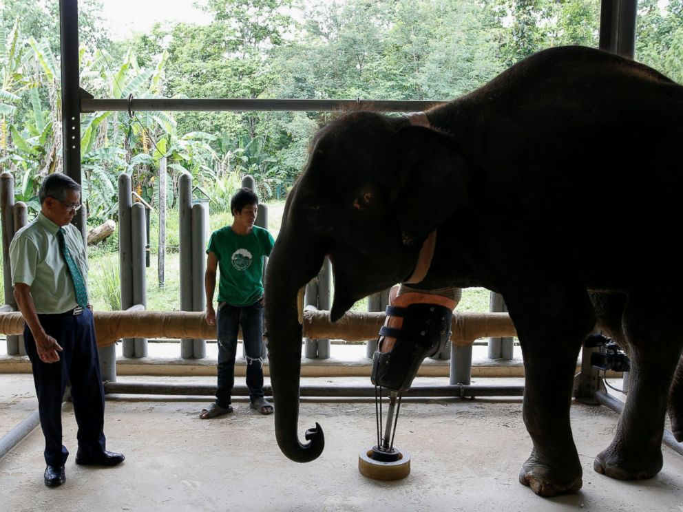PHOTO: Doctor Therdchai Jivacate, left, stands in front of Mosha, the elephant that was injured by a landmine, at the Friends of the Asian Elephant Foundation in Lampang, Thailand, June 29, 2016.
