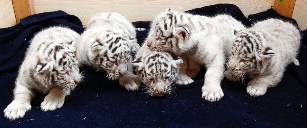 PHOTO: A litter of white Bengal tiger cubs is pictured at the White Zoo in Kernhof, Austria, May 26, 2014.