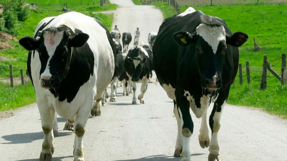 FILE - In this file photo dated Saturday, May 4, 2002, a herd of cows is moved from pasture to a farm for milking near Krakow, Poland. About 2,500 kilograms (5,500 pounds) of meat from sick cows who were slaughtered illegally in Poland has been exported to 10 other European Union countries, according to an announcement Thursday Jan. 31, 2019, by Pawel Niemczuk, Poland's top state veterinary official. (AP Photo/Czarek Sokolowski, FILE)