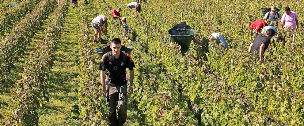 FILE - This Oct. 7, 2013 file photo shows workers collecting red grapes in the vineyards of the famed Chateau Haut Brion, a Premier Grand Cru des Graves, during the grape harvest season, in Pessac-Leognan, near Bordeaux, southwestern France. Amid a r