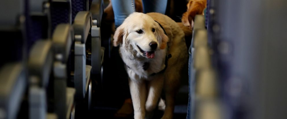 FILE - In this April 1, 2017 file photo, a service dog strolls through the isle inside a United Airlines plane at Newark Liberty International Airport while taking part in a training exercise in Newark, N.J. The government is telling airlines and pas