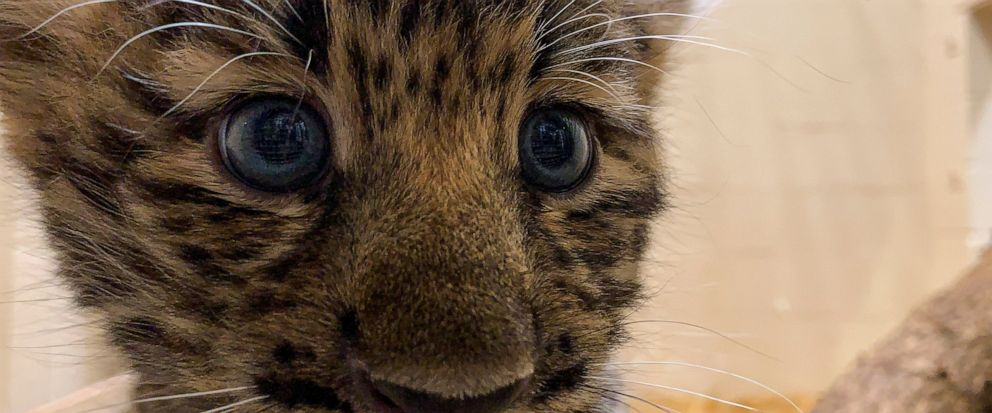 In this Monday, Aug. 12, 2019 photo provided by the Rosamond Gifford Zoo, an Amur leopard cub plays in its private quarters at the Rosamond Gifford Zoo in Syracuse, N.Y. The leopards, which are native to eastern Russia and critically endangered, made