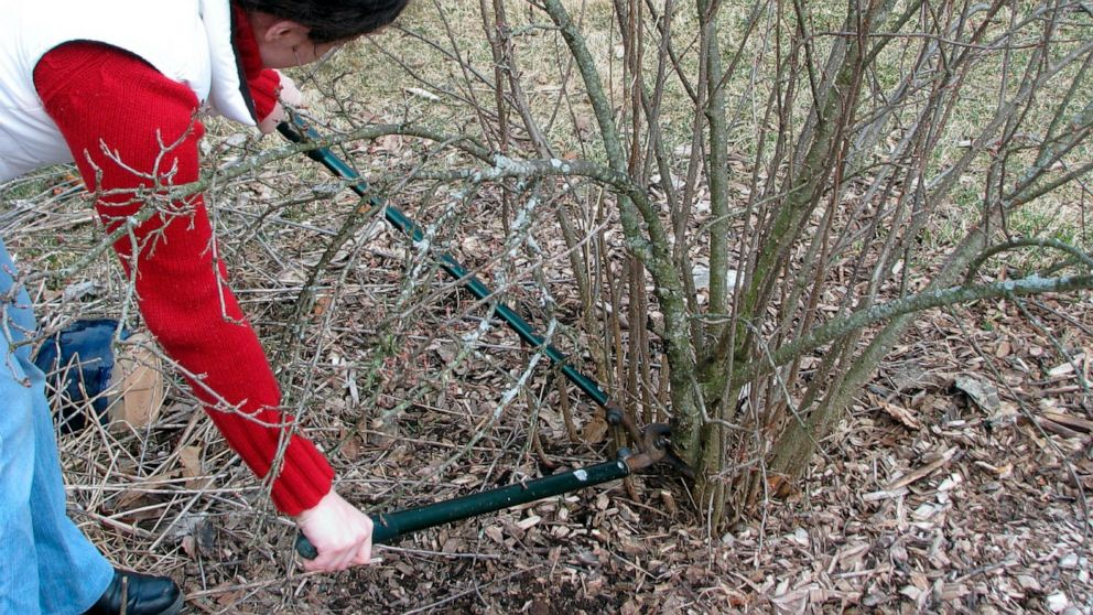 March Is A Great Time To Prune Many Shrubs But Not All Abc News