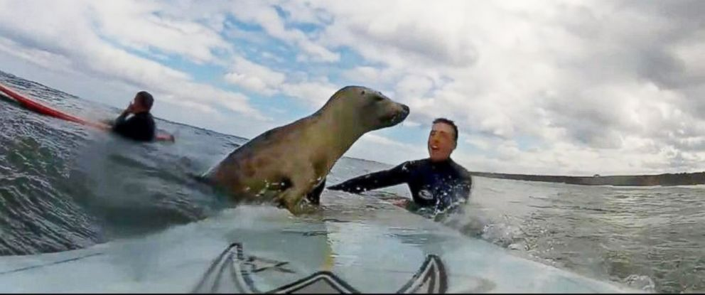 PHOTO: A baby seal was caught on camera taking a ride with two surfers.