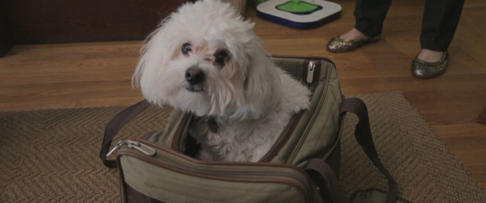 Albert, a 3-year-old coton de tulear, was diagnosed with extreme anxiety and prescribed Prozac.