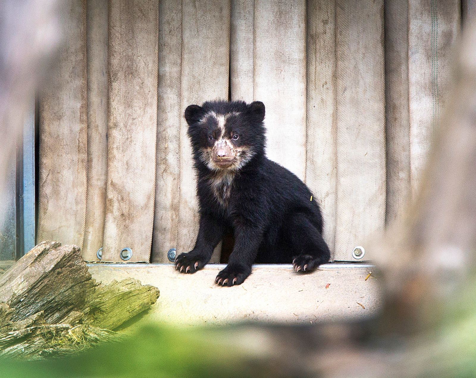 Andean bear baby emerges out of its den Picture | Cutest ...