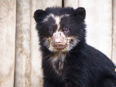 Andean bear baby comes out of its den