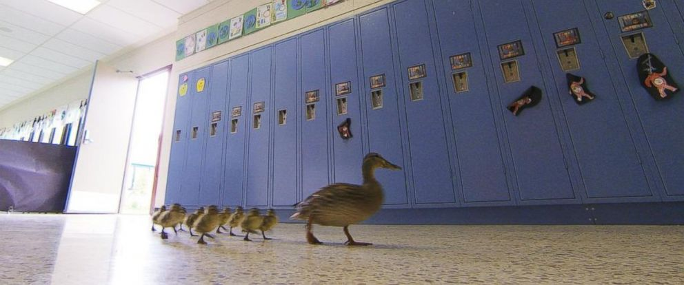 PHOTO: Vanessa the duck leads her offspring through the halls of the Village Elementary school in Hartland, Mich., April 28, 2016.