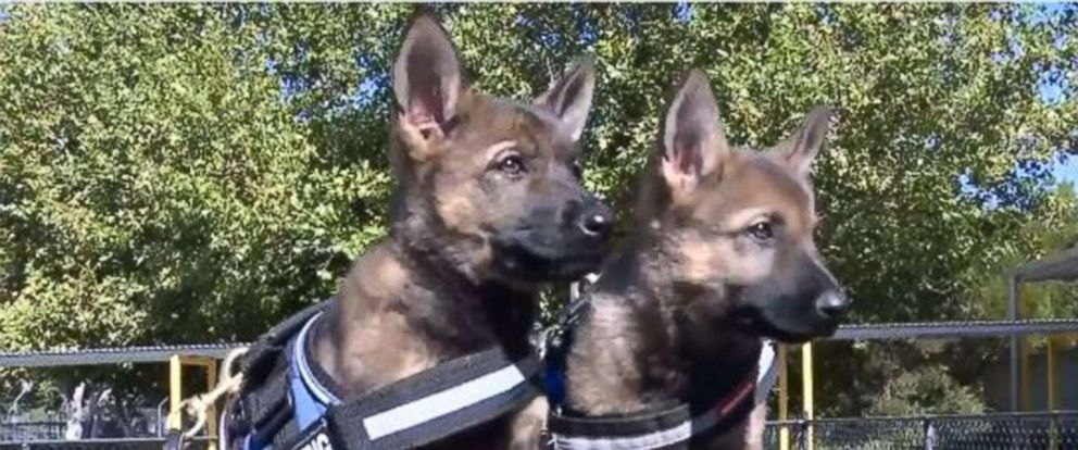 PHOTO: The Australian Federal Police K9 team are proud to welcome: Lexie, Maddie and Rosie; three German Shepherd pups who will soon undergo training.