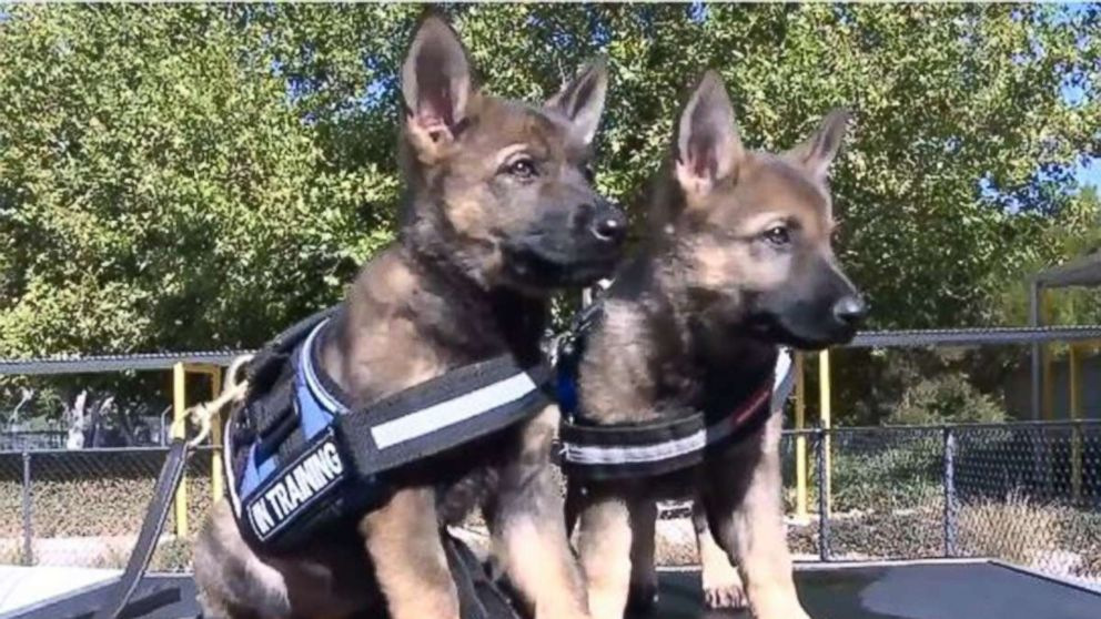 Adorable Police Pups Train To Fight Crime Abc News