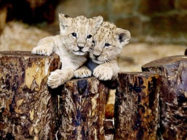 Lion cubs snuggle at zoo