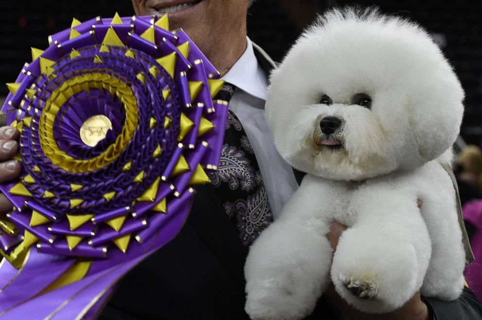 PHOTO: Flynn, the Bichon Frise, with handler Bill McFadden, poses after winning Best in Show at the Westminster Kennel Club 142nd Annual Dog Show in Madison Square Garden, Feb. 13, 2018, in New York City.