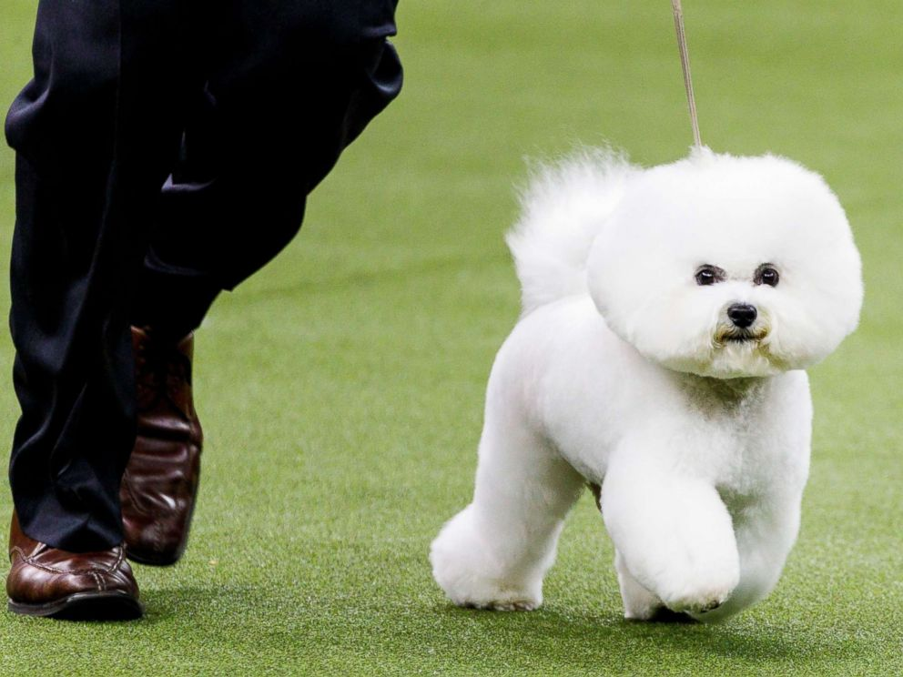 PHOTO: A Bichon Frise, named Flynn, is led by handler Bill McFadden before winning Best In Show at the 2018 Westminster Kennel Club Dog Show in New York City, Feb. 13, 2018. The annual competition features hundreds of dogs from around the country.