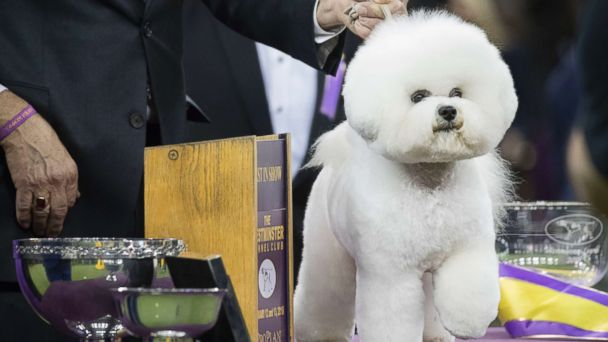 Meet the bichon frise named Westminster Kennel Club Dog Show's best in show