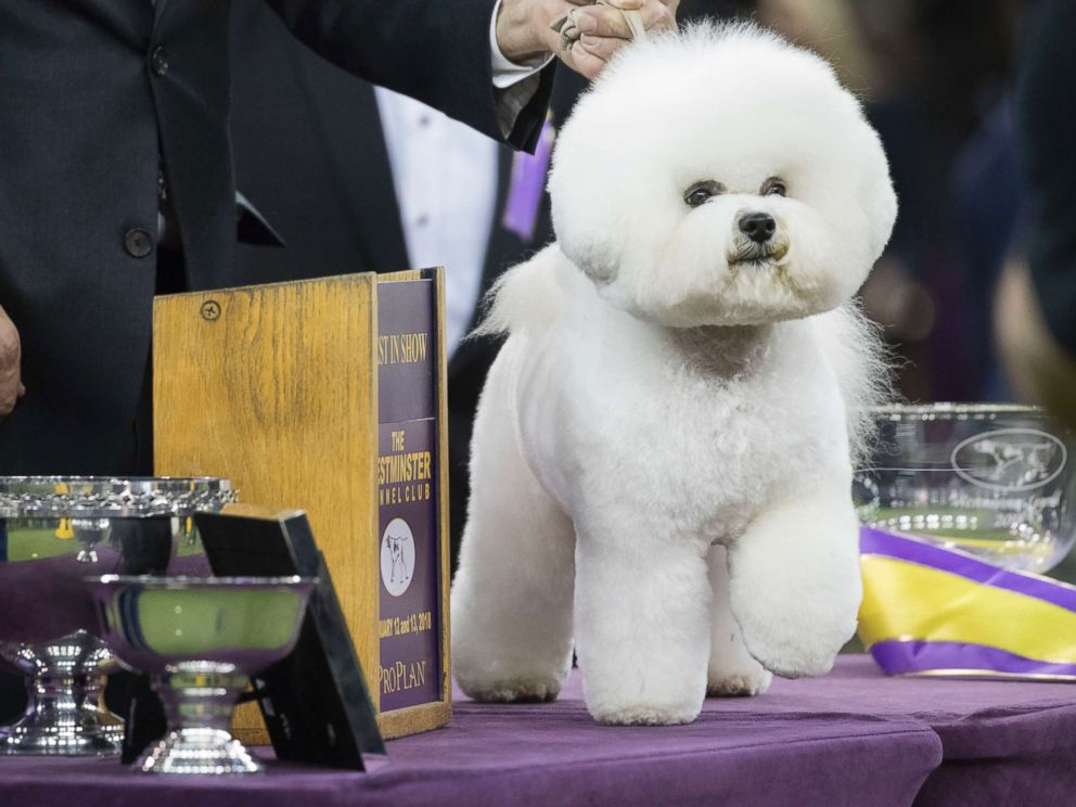 PHOTO: Flynn, a bichon frise, poses for photos after winning best in show during the 142nd Westminster Kennel Club Dog Show, Feb. 14, 2018, at Madison Square Garden in New York.