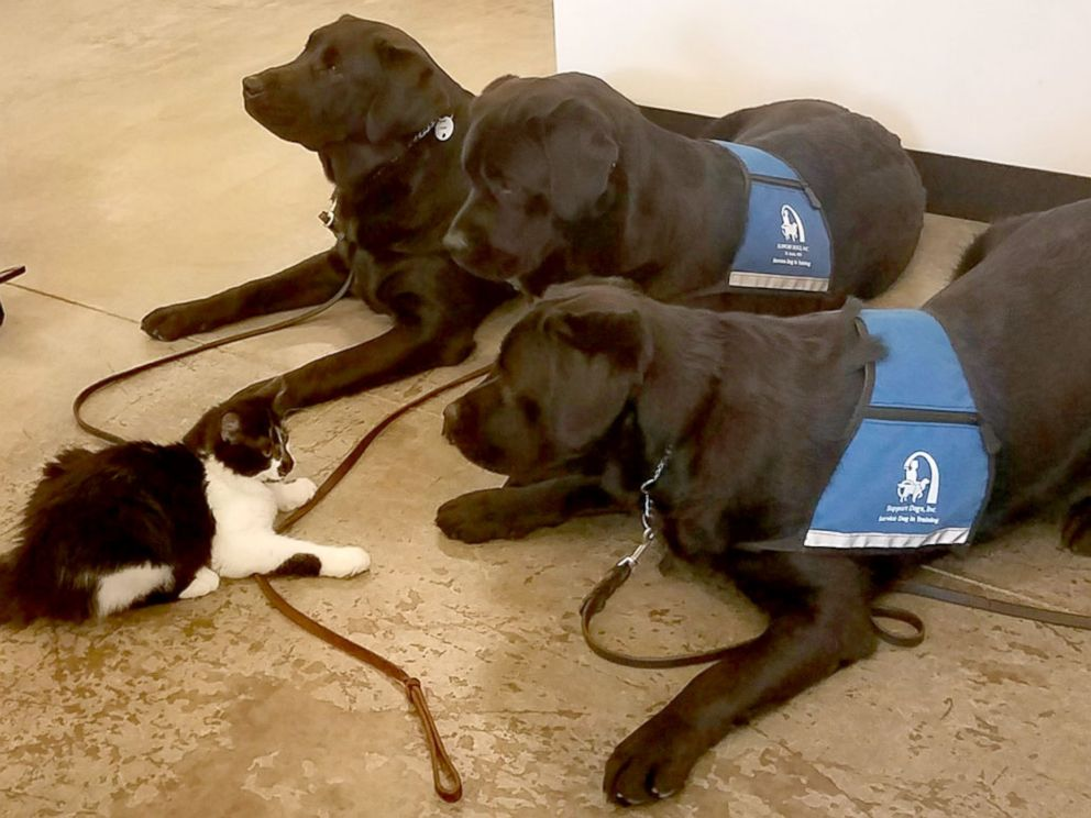 PHOTO: This 6-month-old kitten holds his own among 23 support dogs.