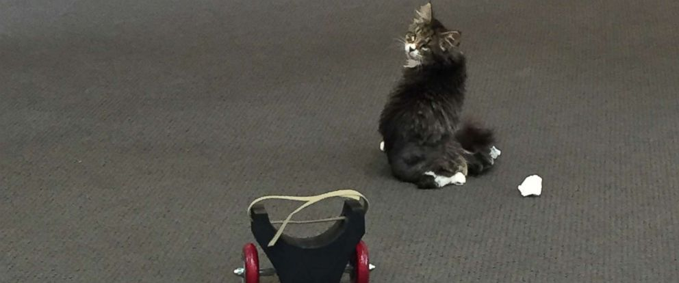 PHOTO: Ray a blind Maine Coon kitten with a spinal disorder before he was fitted with a 3-D printed wheelchair.